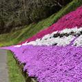 写真: 大道理の芝桜 3