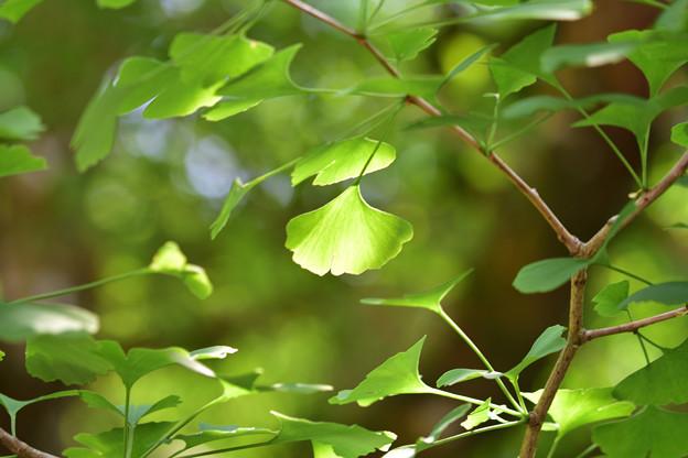 公孫樹の葉