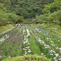 写真: 吉香花菖蒲園
