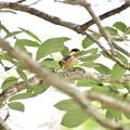 ヤマガラの幼鳥 1