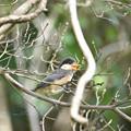 ヤマガラの幼鳥 4