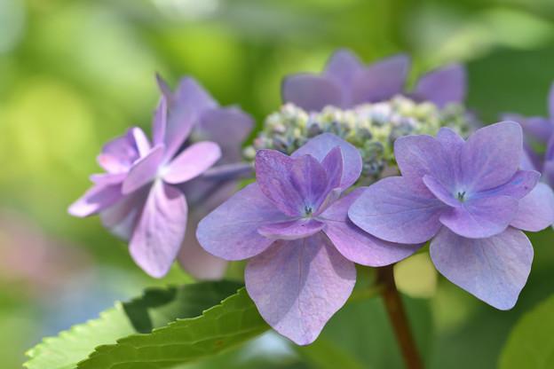 紫陽花 6