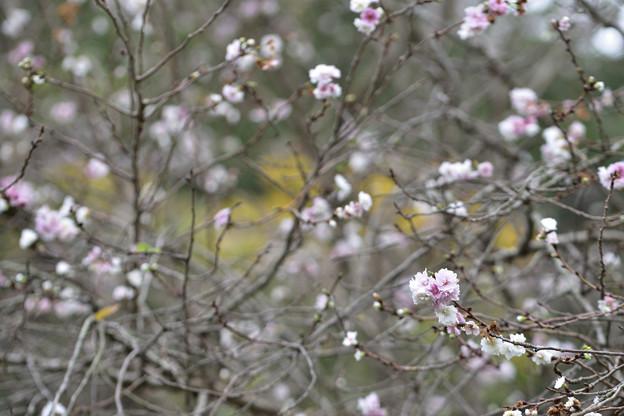 子福桜 1
