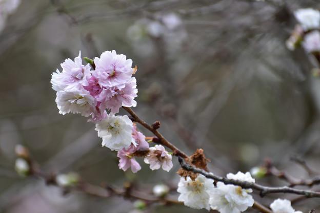 子福桜 2