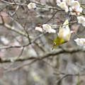 写真: 梅とメジロ 6