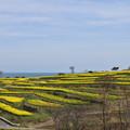 Photos: 菜の花畑 2