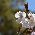 Photos: 桜 2