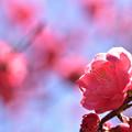 Photos: 花桃 3