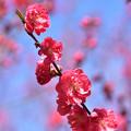 Photos: 花桃 7