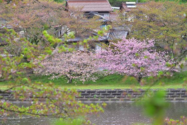 Photos: 対岸の八重桜