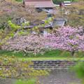 対岸の八重桜