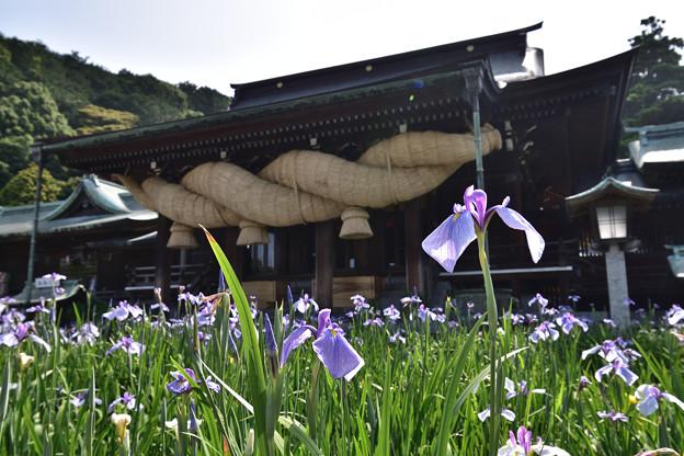 菖蒲と拝殿