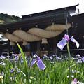 Photos: 菖蒲と拝殿