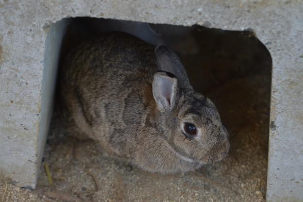 ドワーフウサギ