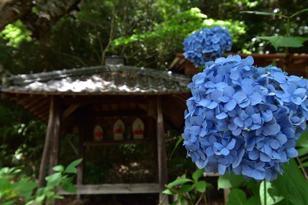 茶堂前の紫陽花