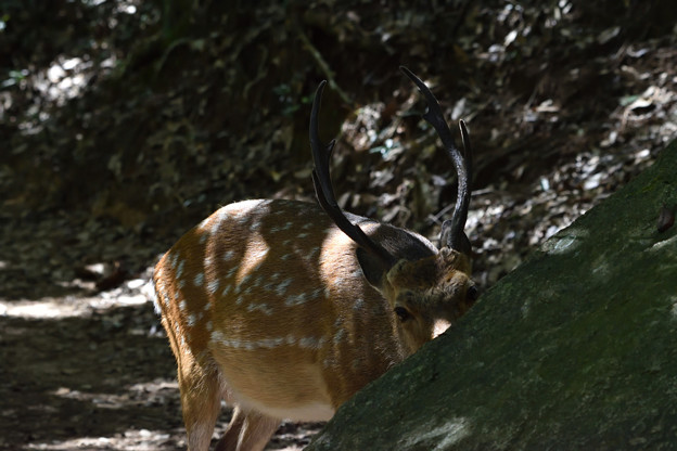 Photos: 鹿 1