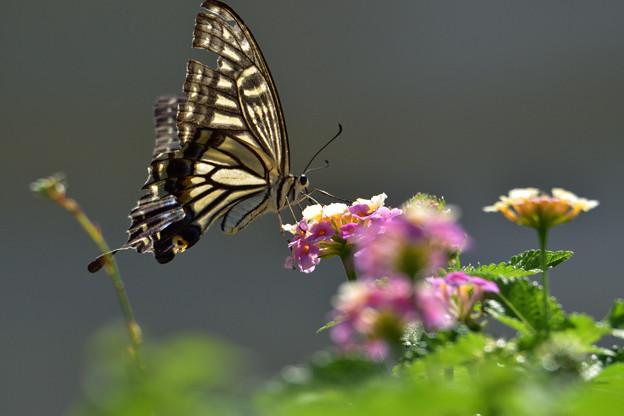 アゲハチョウ 2