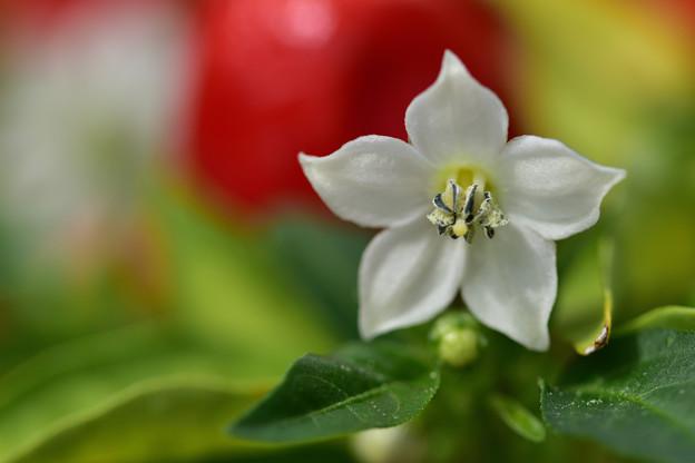 トウガラシの花