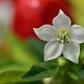 Photos: トウガラシの花
