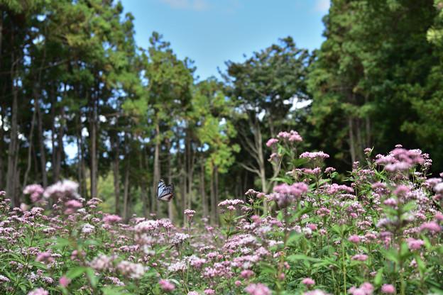 Photos: フジバカマ園