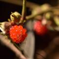 Photos: フユイチゴ