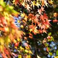 Photos: 両足寺の紅葉