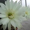 写真: 昨日の夜にサボテンの花が開...