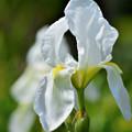 写真: 公園の花 ダッチアイリス