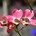 公園の花ハナミズキ