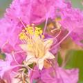 写真: 黄金の蕊2