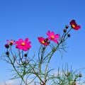 写真: 秋桜畑
