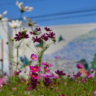 写真: 秋桜畑2
