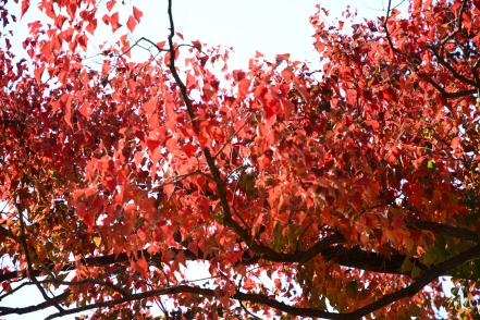 公園の紅葉 南京ハゼ