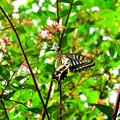 Photos: アゲハチョウの食事