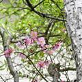 Photos: 紅梅開花