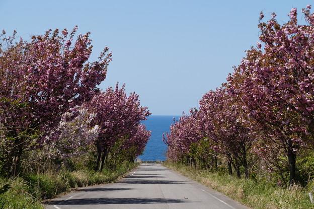 八重桜と海