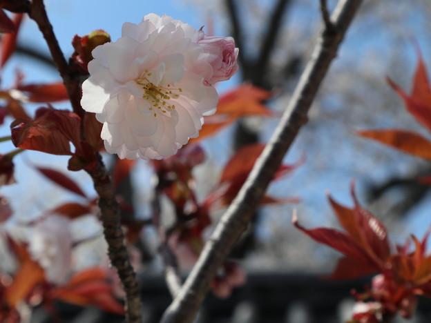 聖護院・日吉桜3