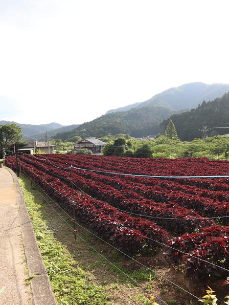 大原・赤紫蘇畑