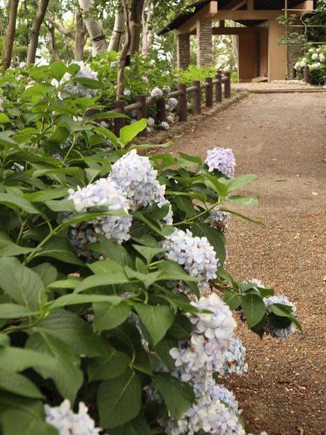 長居植物園・紫陽花苑1
