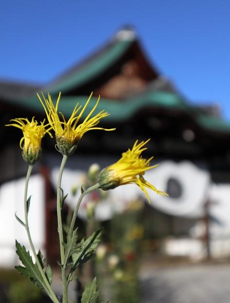 大覚寺・嵯峨菊