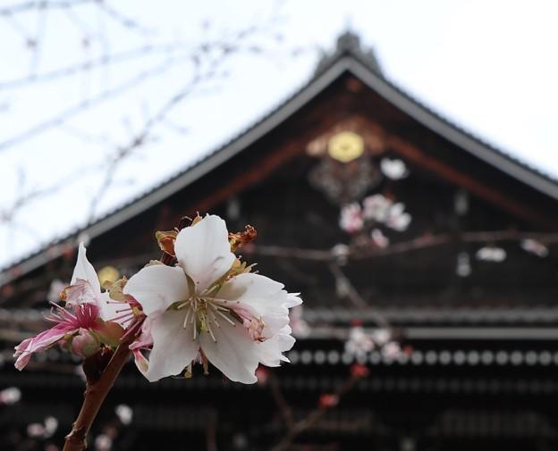 知恩院・冬桜?