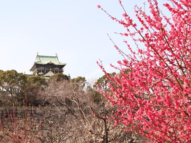 梅と大阪城1