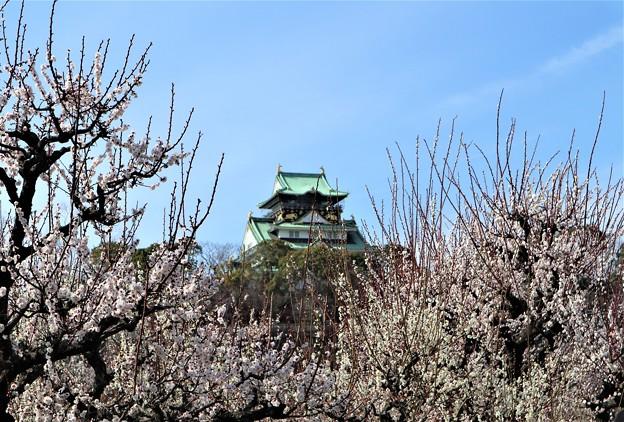 梅と大阪城5