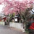 Photos: 車折神社・河津桜3