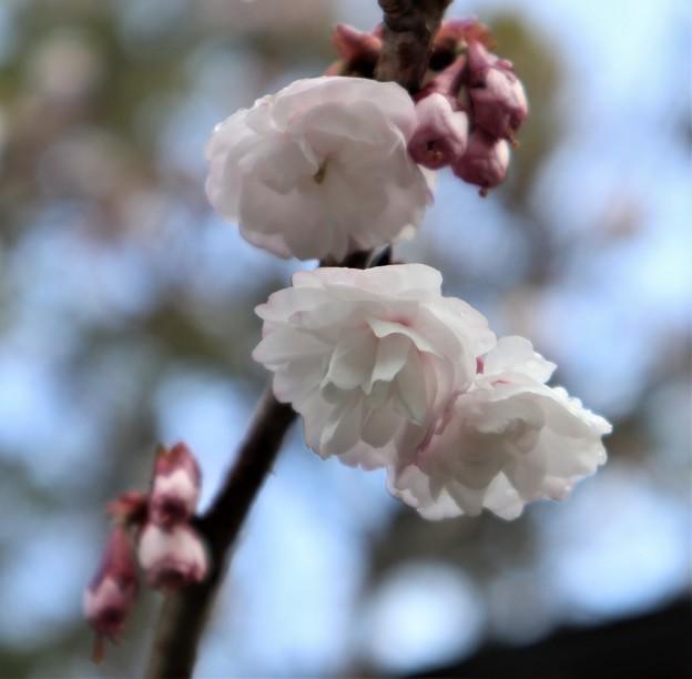 車折神社・社務所前の桜