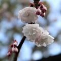 Photos: 車折神社・社務所前の桜