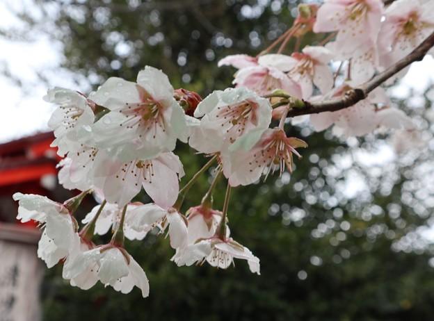 車折神社・葵忠社前の桜3