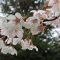 Photos: 車折神社・葵忠社前の桜3
