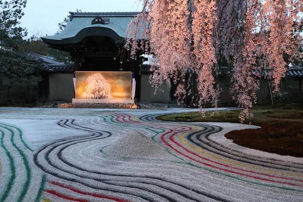 高台寺・枝垂桜と「おぼろ」3