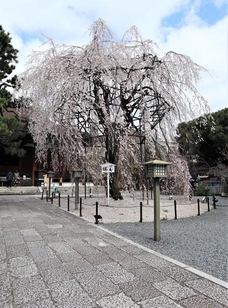 千本釈迦堂・阿亀桜4
